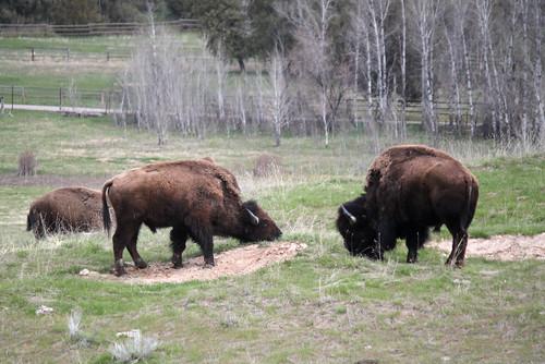 National Bison Range - Bison