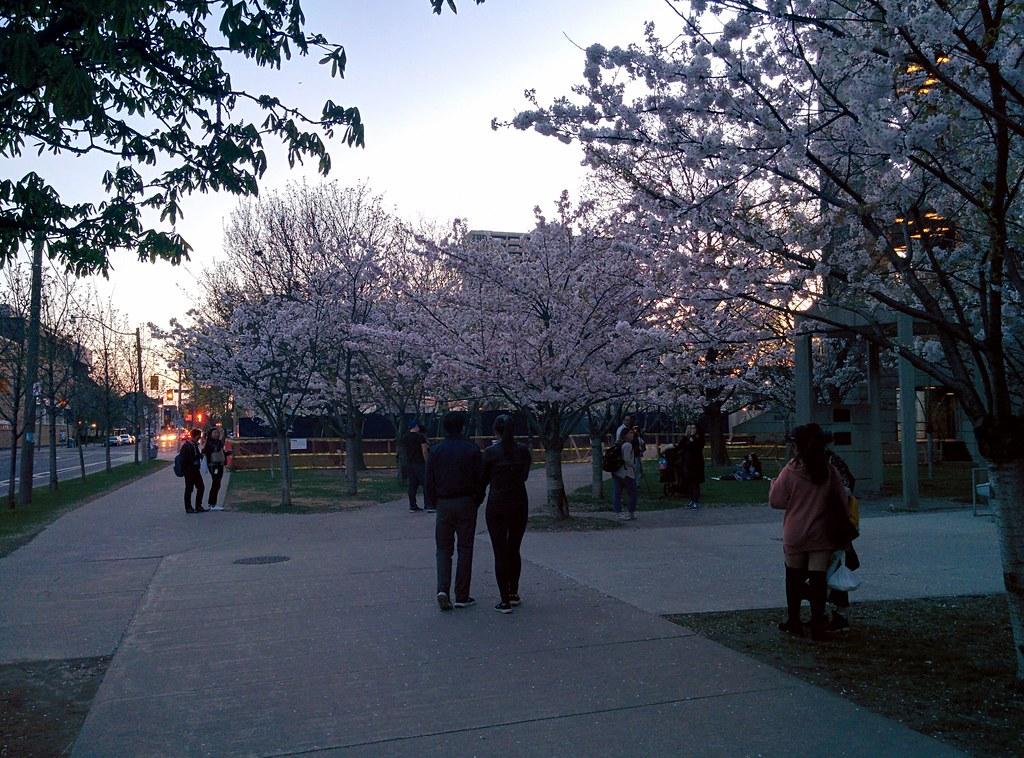 Sakura of Robarts in twilight (4) #toronto #sakura #cherryblossom #universityoftoronto #robartslibrary #harbordstreet #latergram
