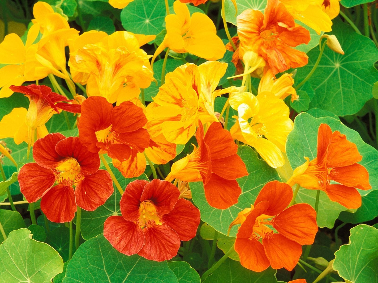 Nasturtium Edible Flowers to Flavour your Food & Improve your Health (gardeningflavours.com)