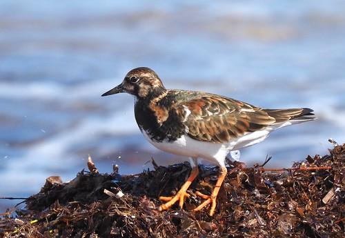 Shorebirds - Ruddy Turnstone (Arenaria interpres)
