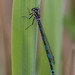 Male Dainty Damselfly