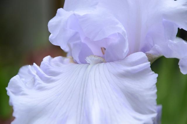 Iris 'Silverado' - Schreiner 1986 27391875617_bda78dbc60_z