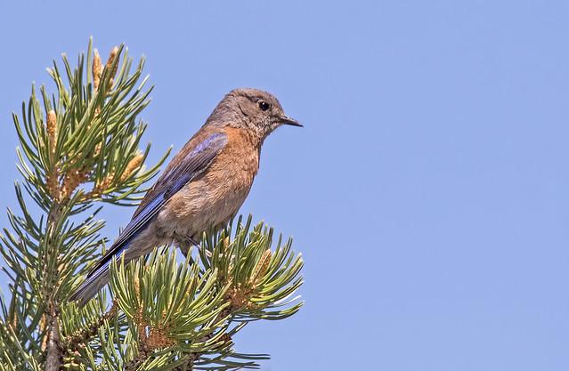 Western-Blue-Bird-80-7D2-051818