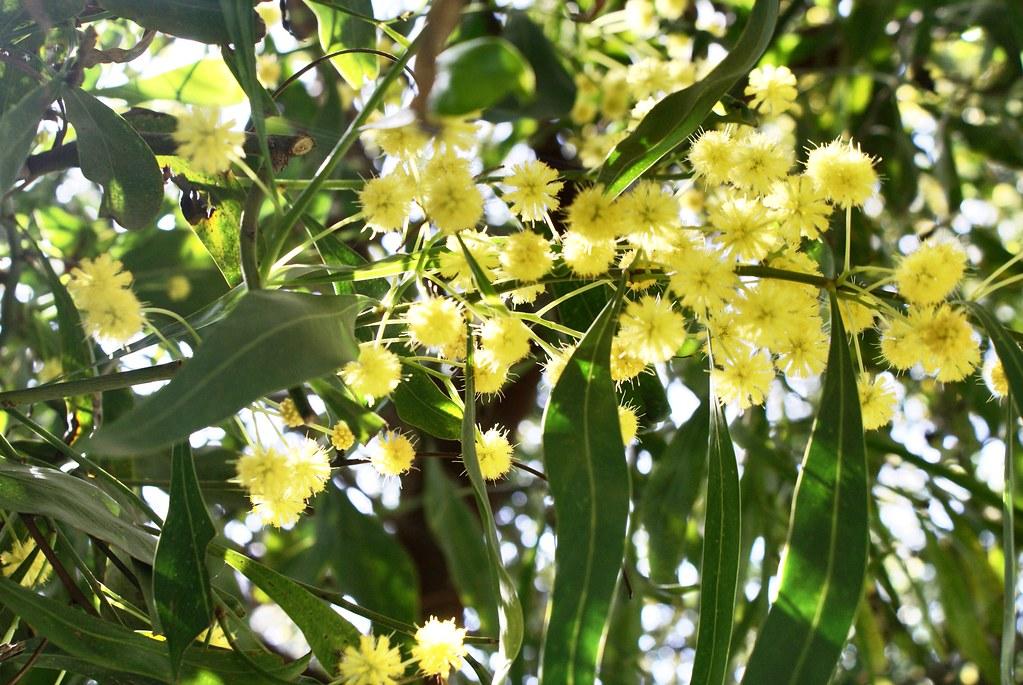 Mimosa en fleur dans le jardin du musée Batha à Fès.