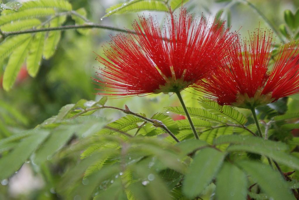 Fleur rouge d'acacia dans le jardin botanique de Naples.