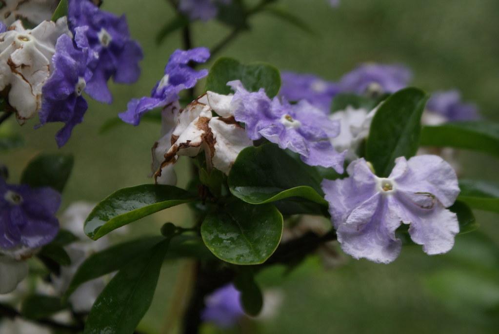Brunfelsia pauciflora, fleur blanche et violette au jardin botanique de Naples.