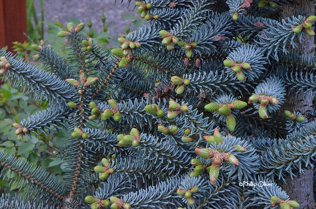 abies-pinsapo-glauca-blue-spanish-fir