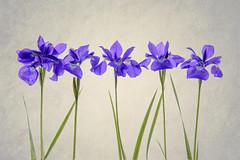 iris1-texture