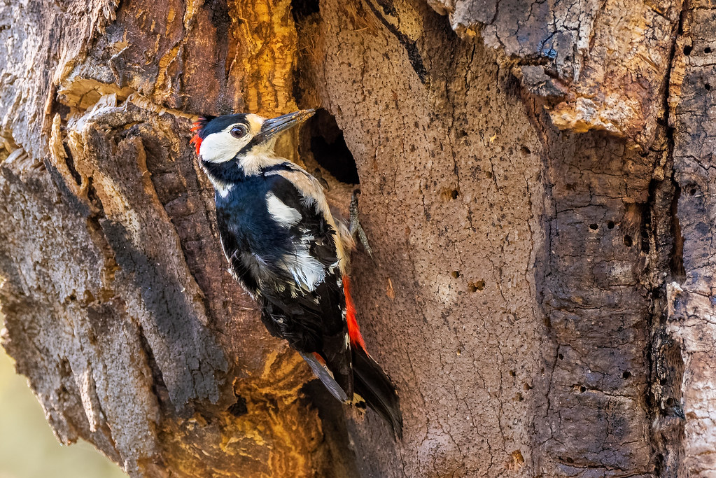 Greater Spotted Woodpecker - Pica-pau-malhado-grande - Dendrocopos major