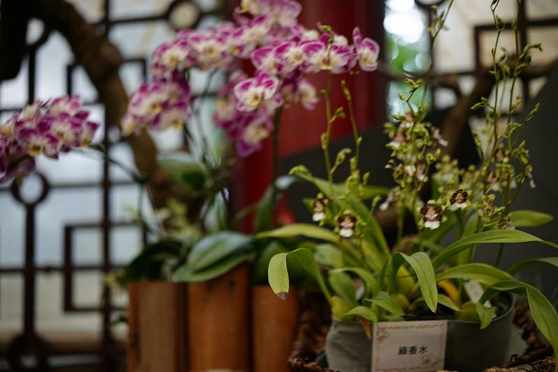 綠香水文心蘭