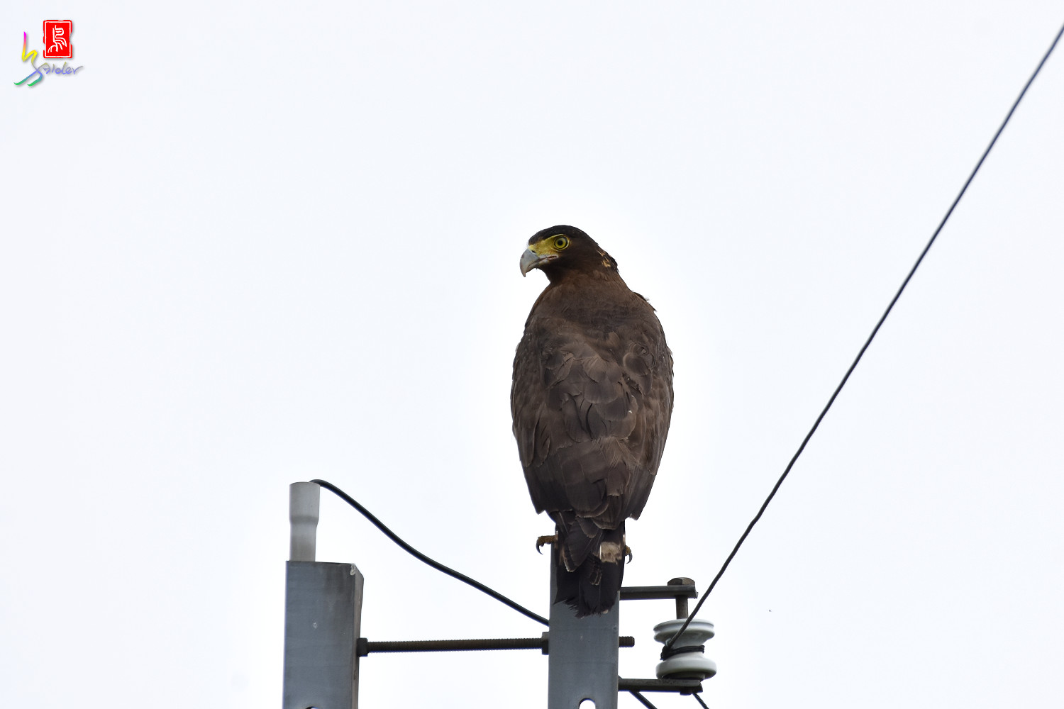 Crested_Serpent_Eagle_5091