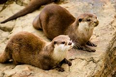 Otter Pair