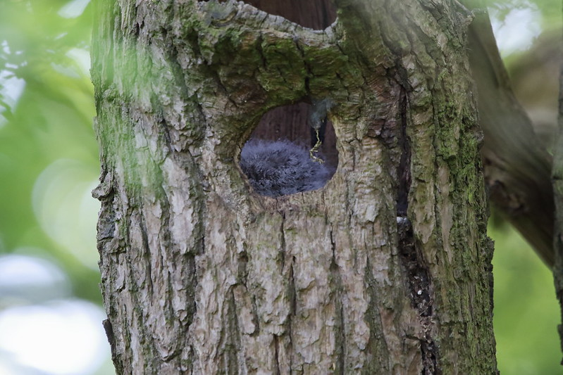 Tawny Owl nest