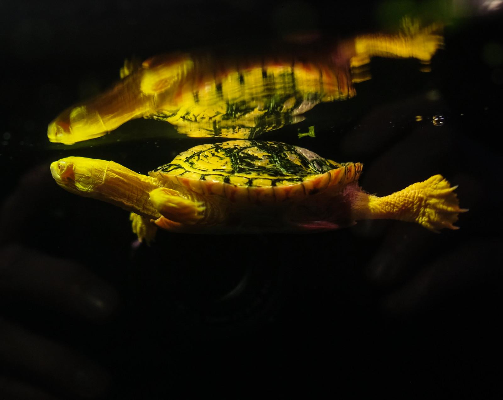 Western Painted Turtle, Great Lakes Aquarium, Duluth 4/6/18 #GLAquariumMN