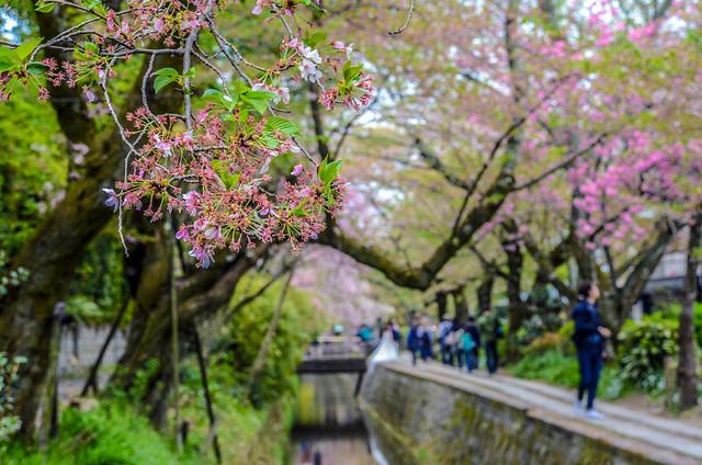 Philosopher's Path branch cherry blossom background
