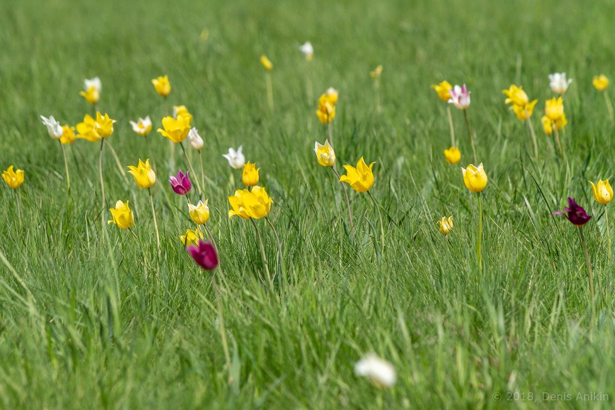тюльпаны иваново поле фото 9