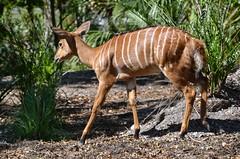 Nyala antelope. (Tragelaphus angasii),  Nikon D3100. DSC_0411.