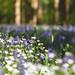Stichwort Bluebells