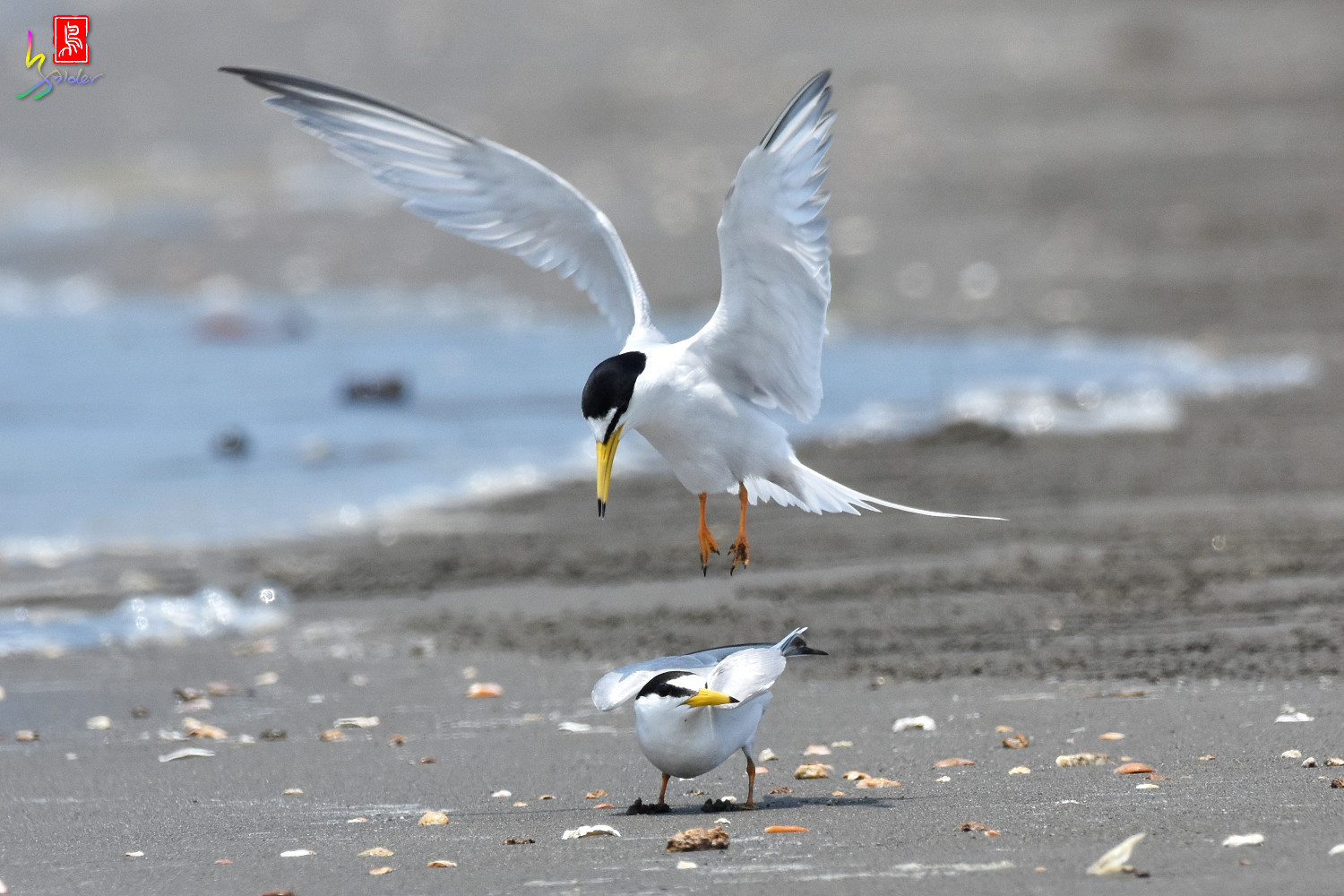 Little_Tern_4883