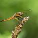 Scarce Chaser (Libellula fulva)