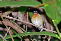 Голубая мухоловка-циорнис Тикела, Cyornis tickelliae indochina, Tickell's Blue Flycatcher