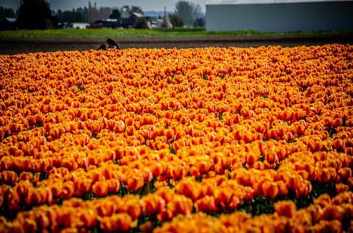 Skagit Valley Tulips-142