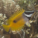 Small photo of Onespot rabbitfish (Siganus unimaculatus)