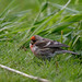 Common (Mealy) Redpoll (Ham Wall) #3 of 3