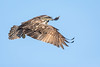 Osprey in Flight by jeff_a_goldberg