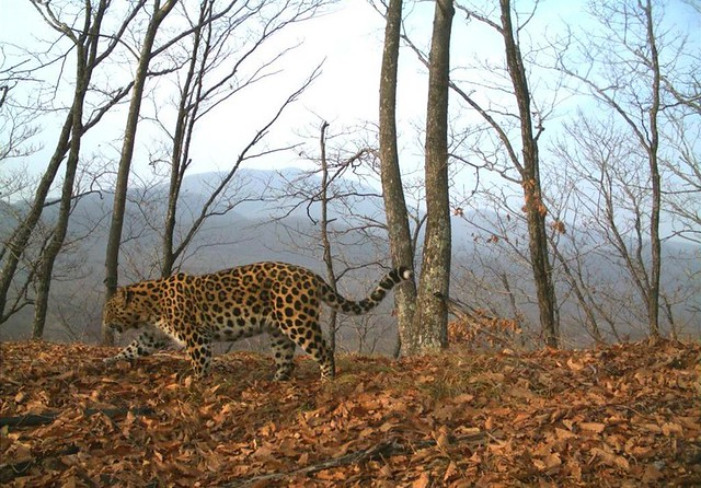 photo of amur leopard