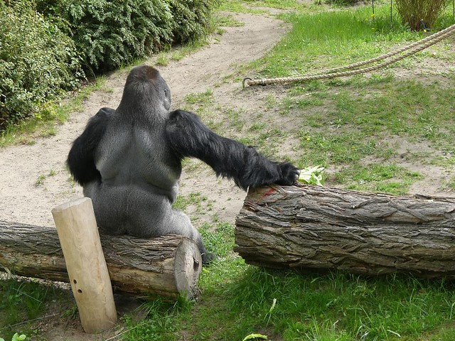 Gorilla Ivo, Zoo Berlin