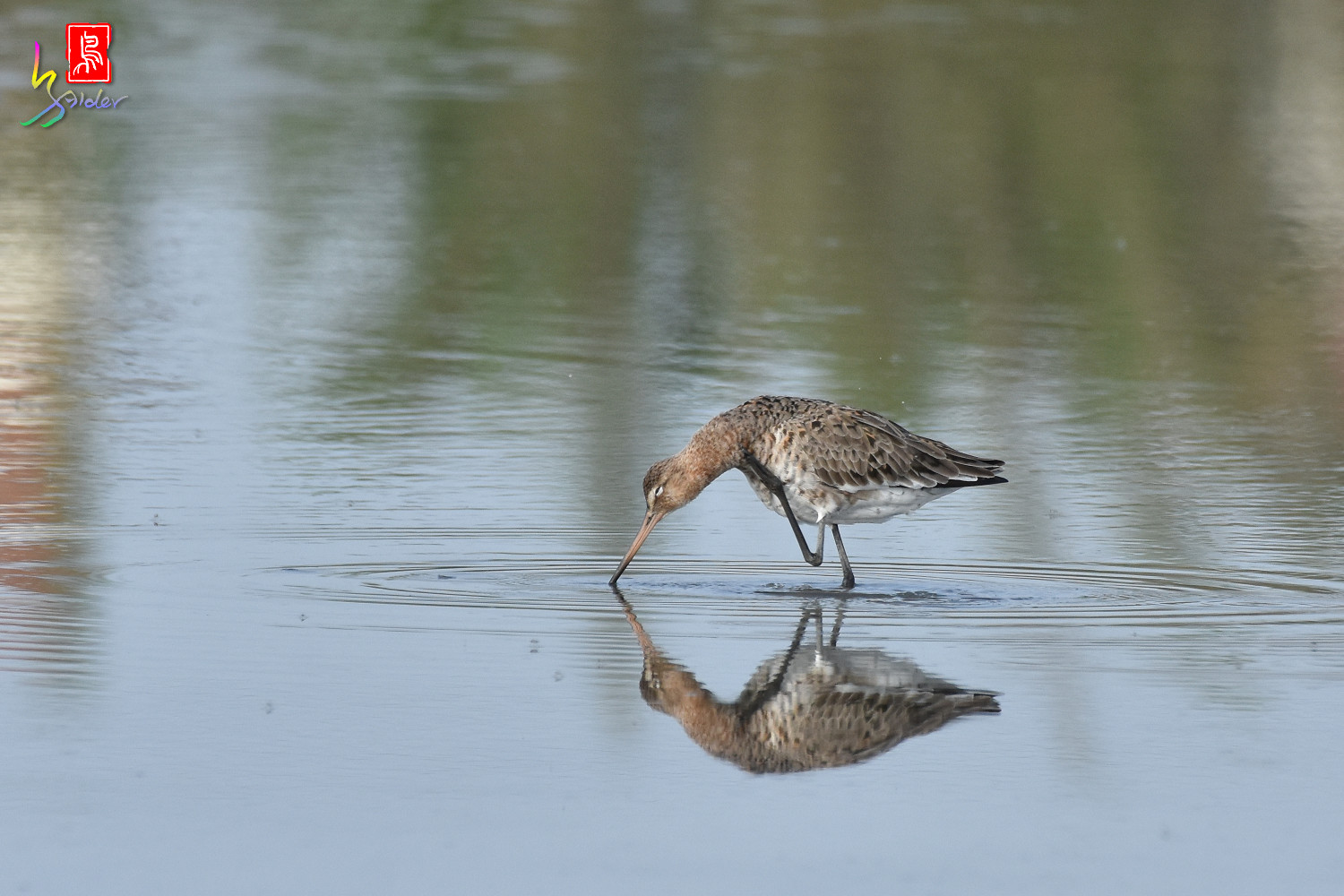 Black-tailed_Godwit_6670