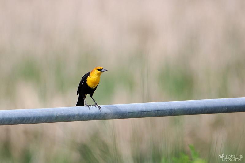 IMG_3717YellowHeadedBlackbird