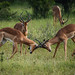 South Africa | Fighting Impala by Nicholas Olesen Photography