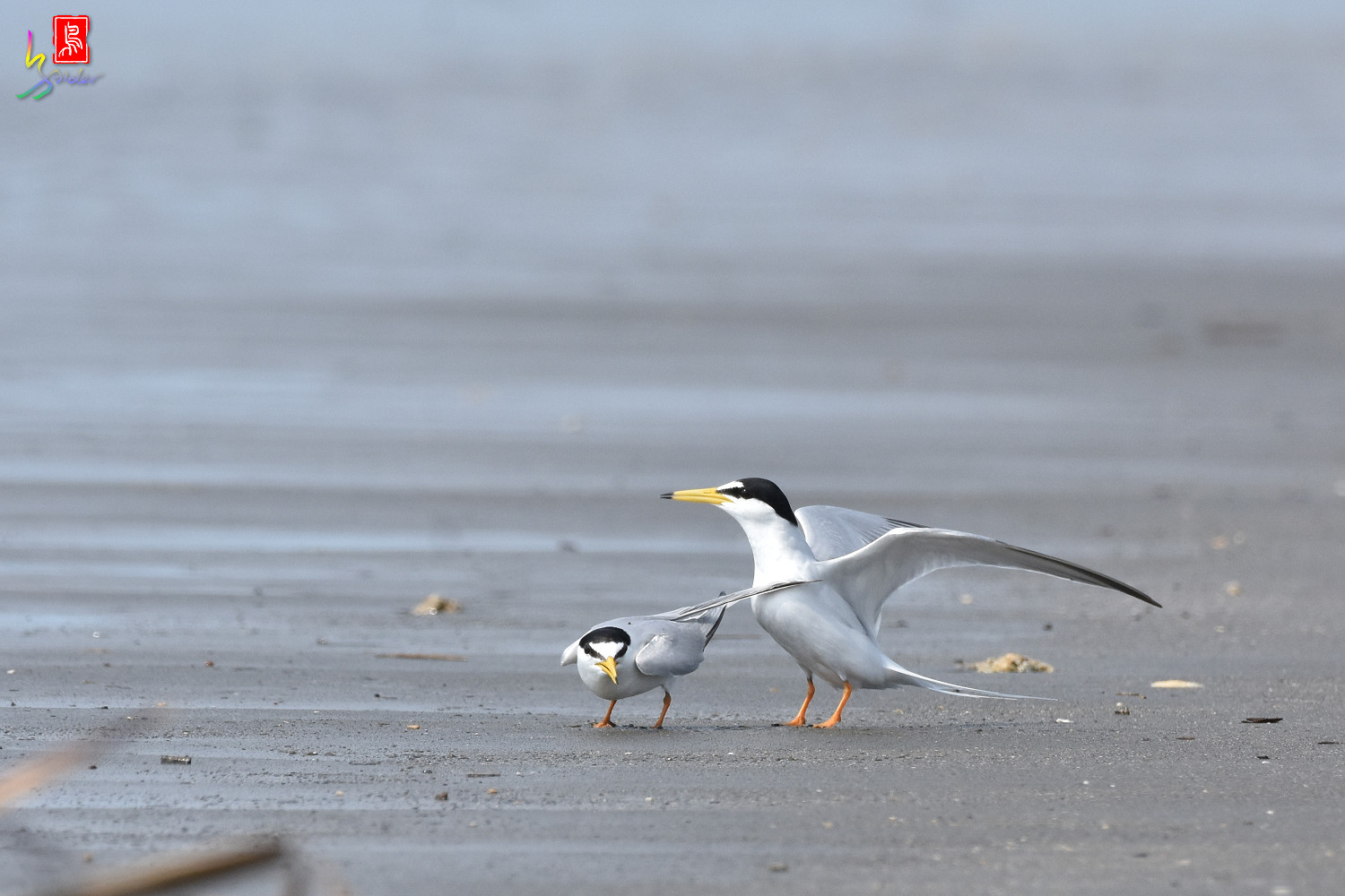 Little_Tern_4366