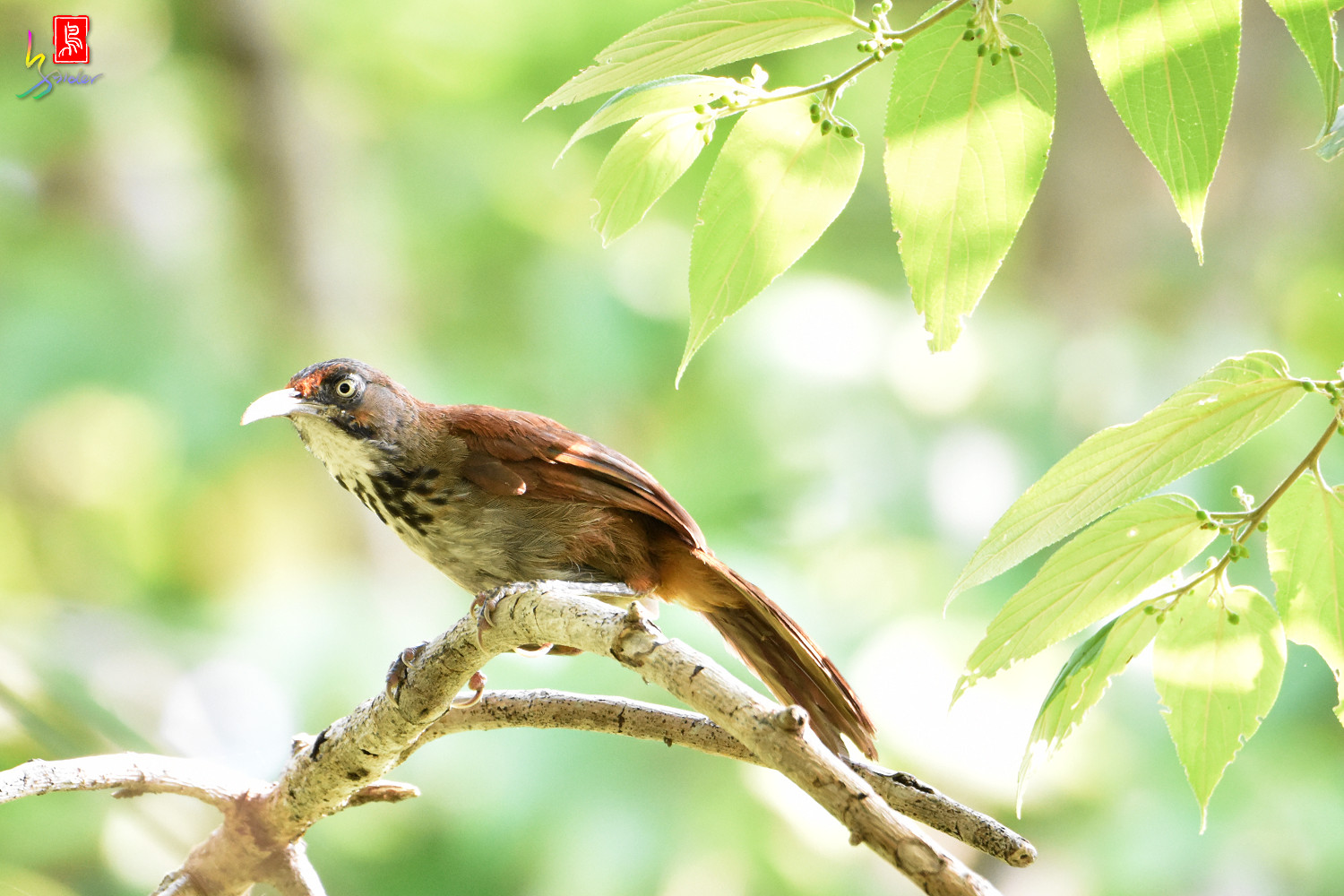 Rusty-cheeked_Scimitar_Babbler_8105