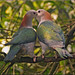 Green imperial pigeons in love by Foto Martien