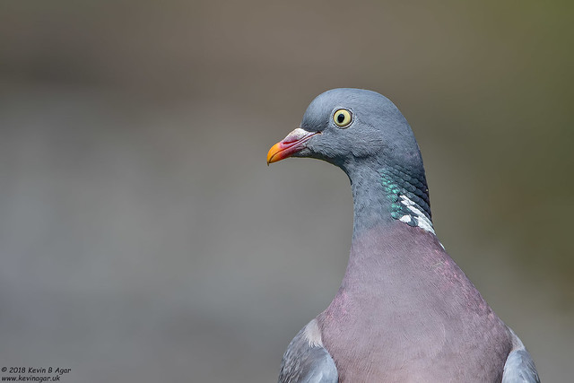 Wood Pigeon, Columba palumbus, Canon EOS 7D MARK II, Canon EF 500mm f/4L IS