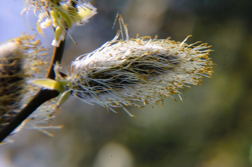 Pussy willow, male catkins, pollen almost gone