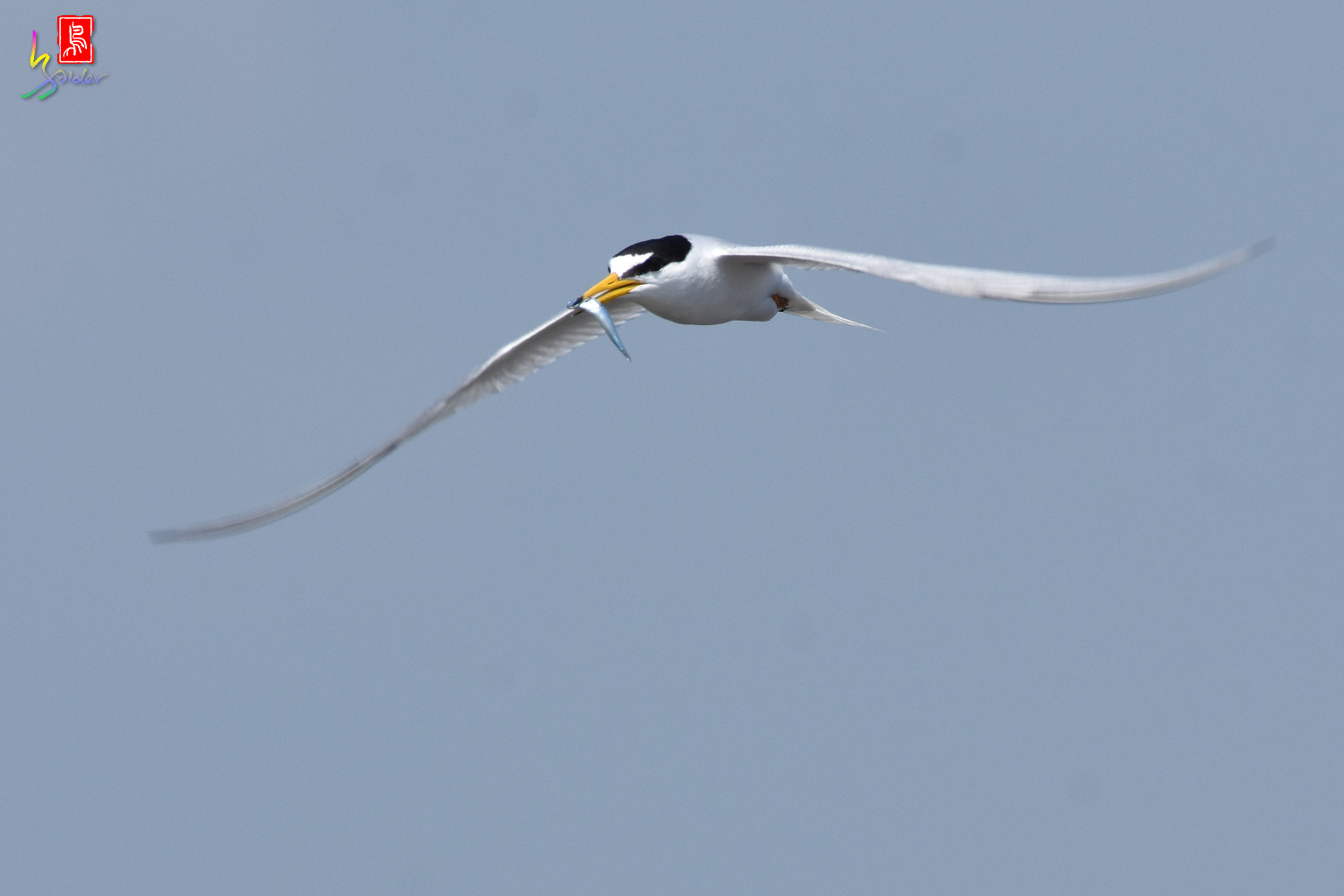 Little_Tern_8856