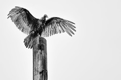 Turkey Vulture drying its wings after the rain, Patuxent Research Refuge North Tract, Laurel Maryland