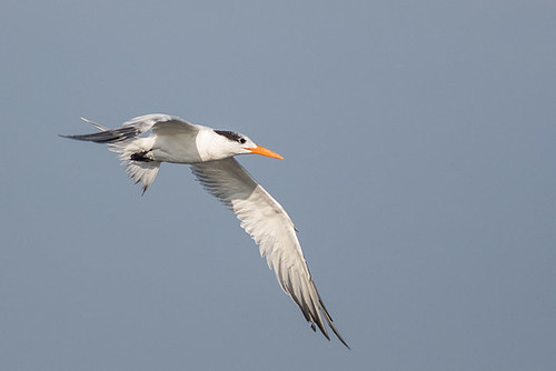 Royal Tern - non breeding