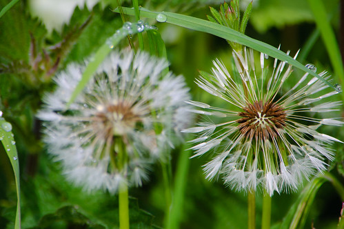 Dandelion clock pair