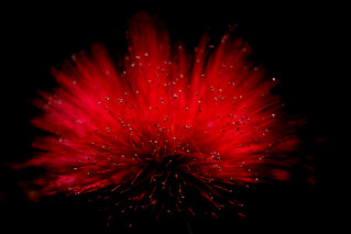 Calliandra sp.