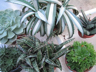 Succulents 9 15 8