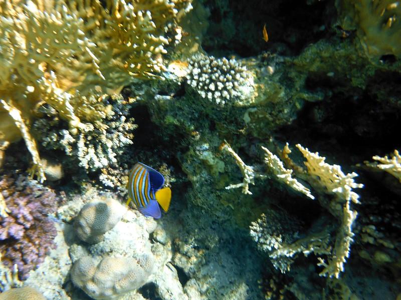 Королевская рыба-ангел (Pygoplites diacanthus)DSCF5001