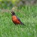 Small photo of American Robin