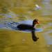 Coot chick, West Park