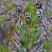 Tiger Bush Tadoba Tiger Preserve India  DSC_9345 JK by JKIESECKER