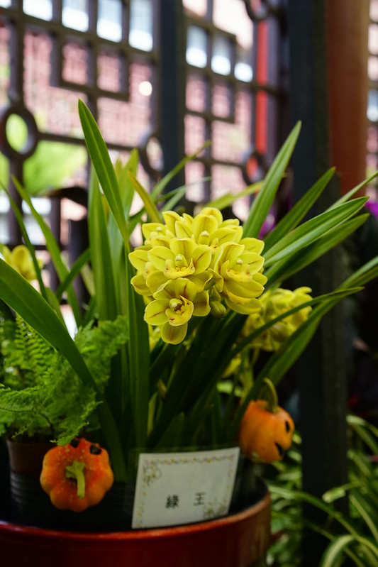 綠王文心蘭